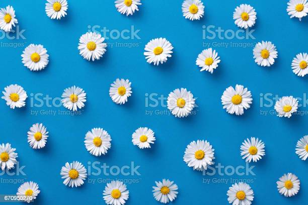 Daisy pattern flat lay spring and summer flowers on a blue background picture id670950270?b=1&k=6&m=670950270&s=612x612&h=b0gnsrlyivoivvx95irutnghz4smwc5ak uncnadcns=