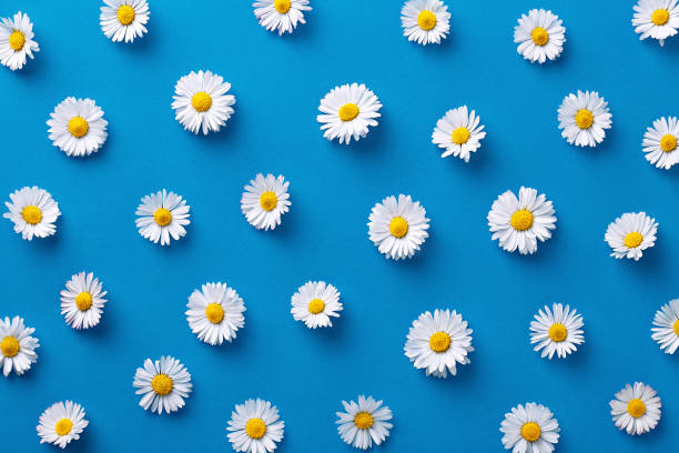 Daisy pattern flat lay spring and summer flowers on a blue background picture id670950270?b=1&k=6&m=670950270&s=612x612&w=0&h=2mbz san 9u 2mczl9wtesfckxqs8j8tnawws cesmw=