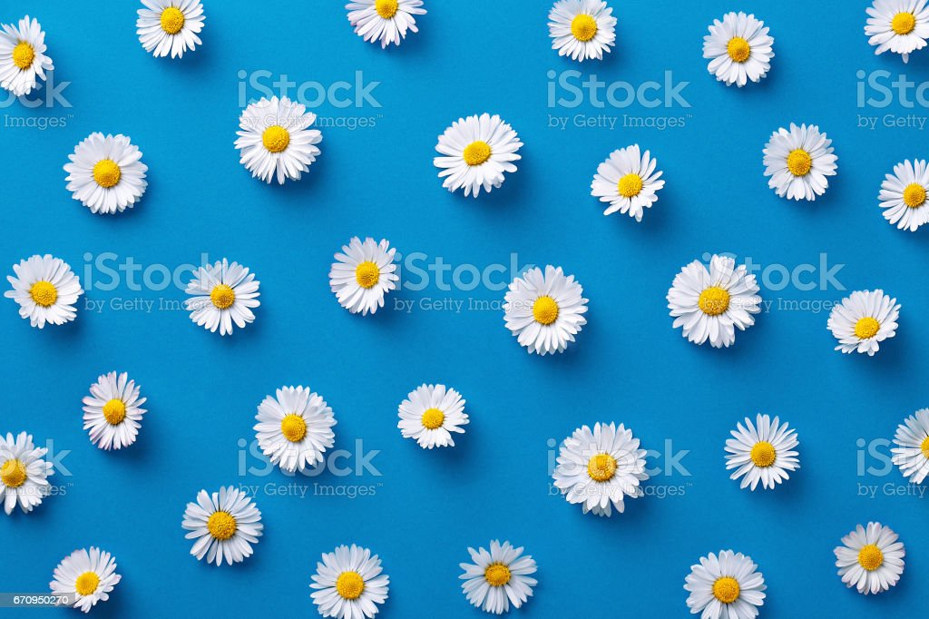 Daisy pattern. Flat lay spring and summer flowers on a blue background. Repeat concept. Top view stock photo