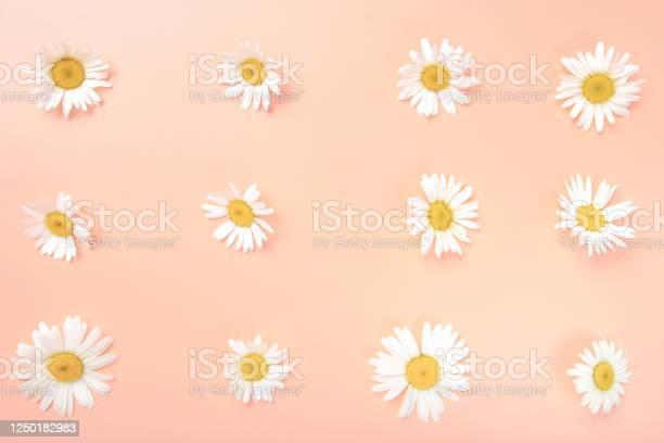 Daisy pattern flat lay top view of chamomile bud laid out on a pink picture id1250182983?b=1&k=6&m=1250182983&s=612x612&h=jgp0jdhn2yx mp6l4i saykjinyuo8ciqprlnruxxfe=