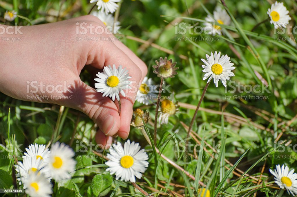 Daisy picking stock photo