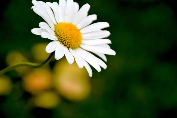 daisy - liliana stock-fotos und bilder