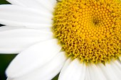 Closeup of a single daisy,
