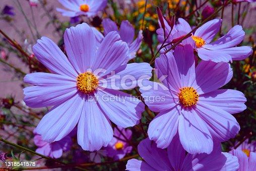 istock Daisy 1318541578