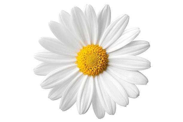 Daisy picture id182674949?b=1&k=6&m=182674949&s=612x612&w=0&h=vzizjkdqrdtlk2rjk85d5kdfaq6380cqmmiwuoci80c=