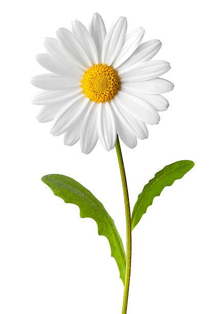 Daisy picture id182710114?b=1&k=6&m=182710114&s=612x612&w=0&h=qmemde3tgenvgybgnzrjyfqruo89lmvesgxxt6zmr40=