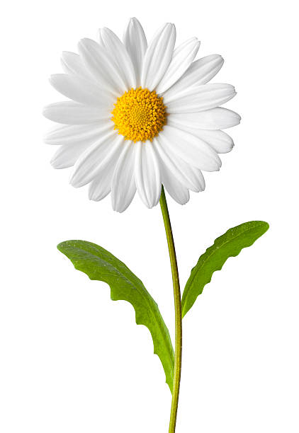 daisy - plant stem stock pictures, royalty-free photos & images