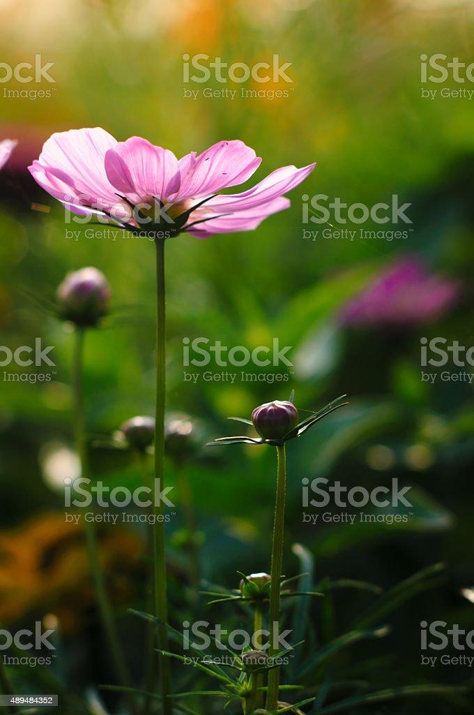 daisy - – Foto