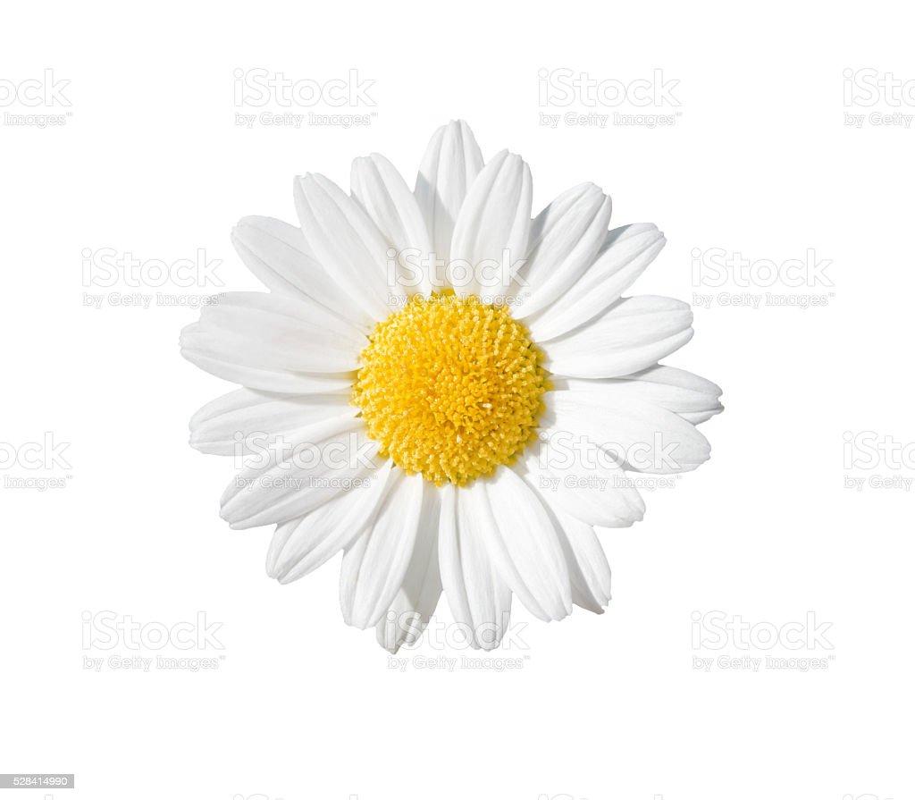 Daisy - Zbiór zdjęć royalty-free (Bez ludzi)