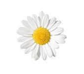 istock Daisy 528414990