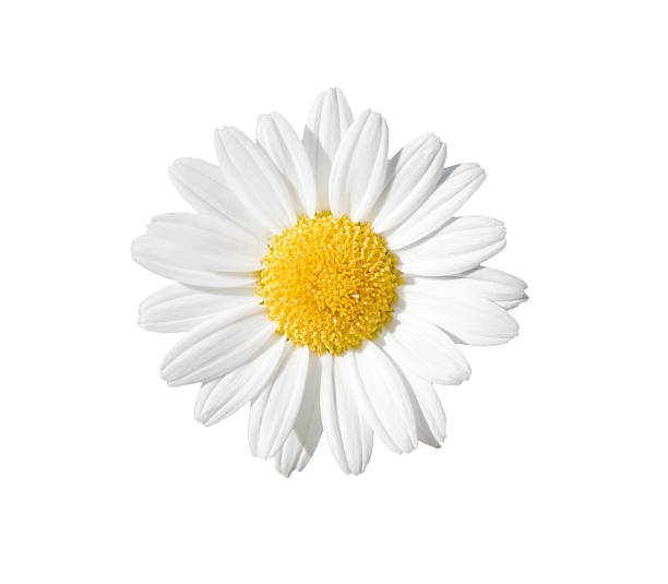 Daisy picture id528414990?b=1&k=6&m=528414990&s=612x612&w=0&h=eroslri4wali74wfxxe73 6kel m5vkplbrkhofbjzw=