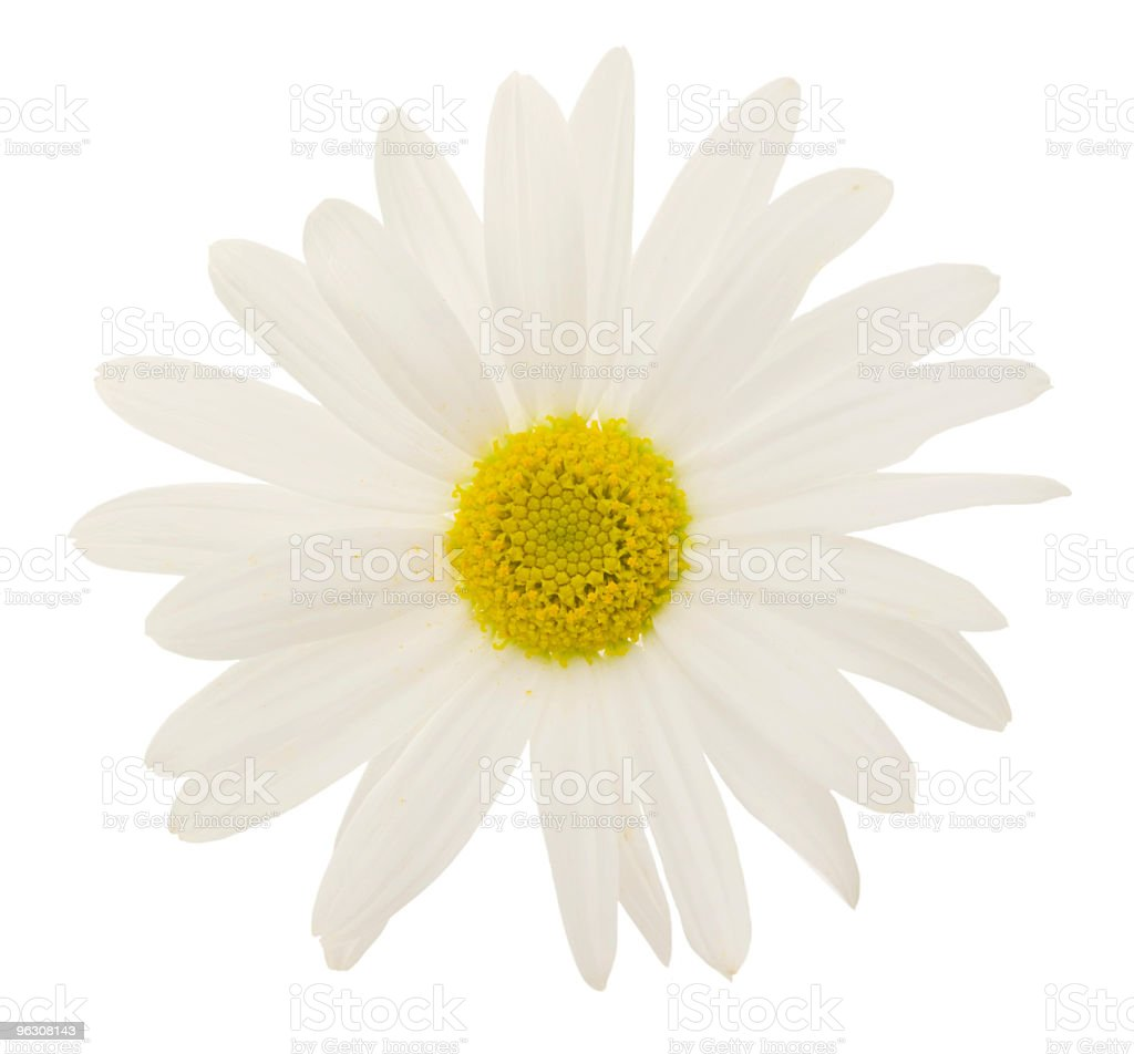 Daisy (XXL) royalty-free stock photo