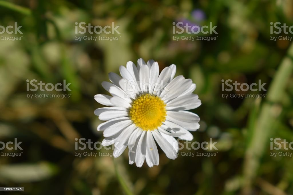 Madeliefjes - Royalty-free Asteroideae Stockfoto