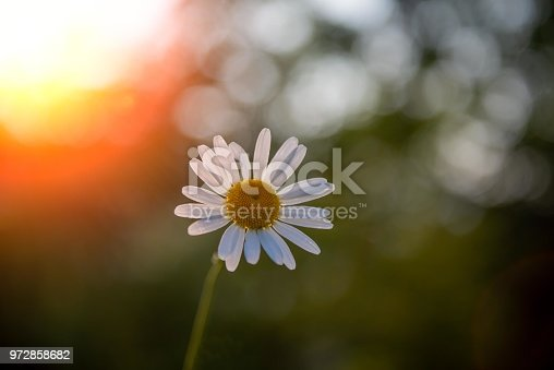 daisy in field of grass in spring