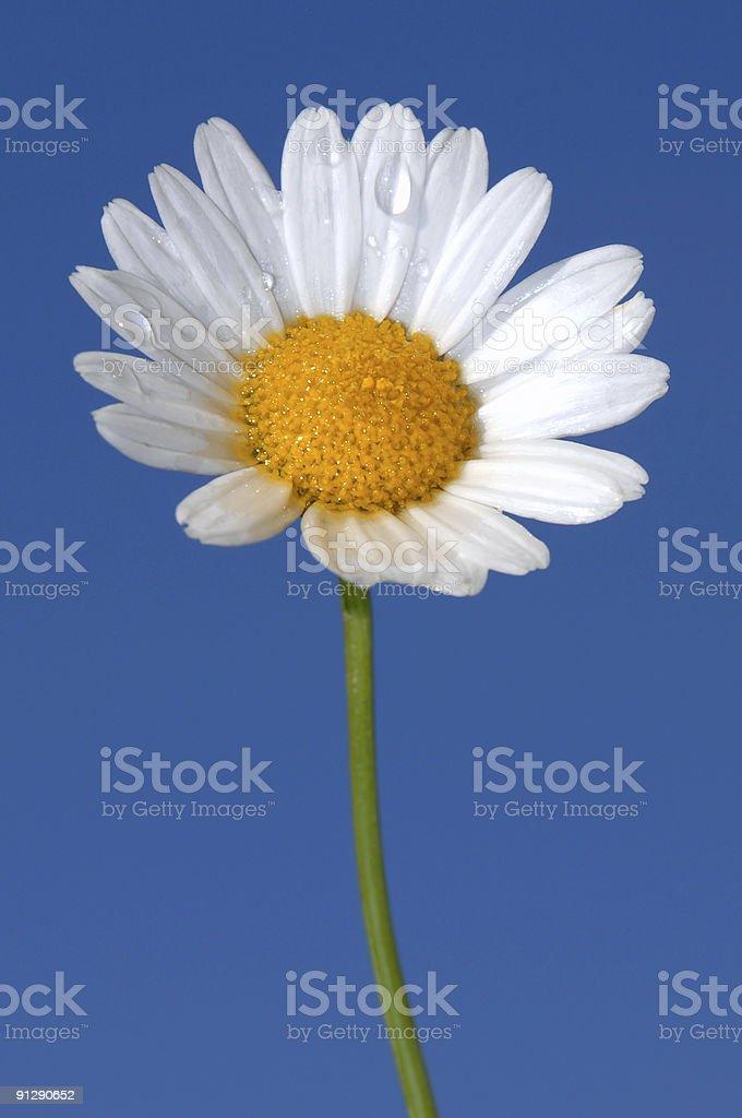 Daisy Tear royalty-free stock photo