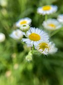 Macro photo of white daisies with some out of focus