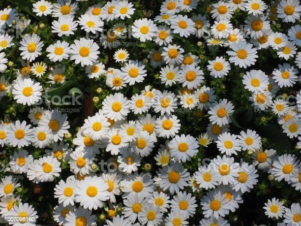 Daisy white flower picture id1007098160?b=1&k=6&m=1007098160&s=612x612&h=whnbq9fncm0erhumgahyv7rdmykvigfmgc2ebhmt2tm=