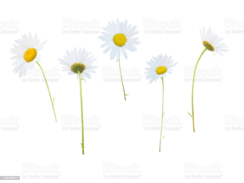 Daisy White Yellow Flowers In Different Positions Stock Photo More