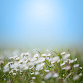istock Daisy Wildflowers Soft focus abstract background spring style with copy space, no people 1317502590