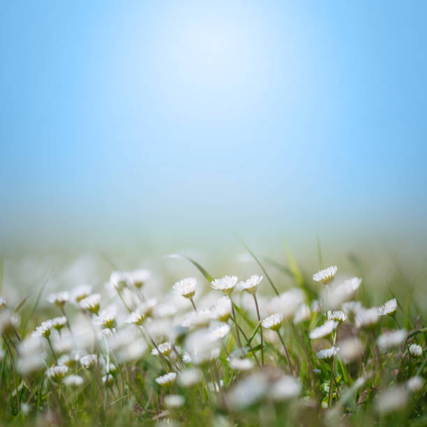 Daisy Wildflowers Soft focus abstract background spring style with copy space, no people stock photo