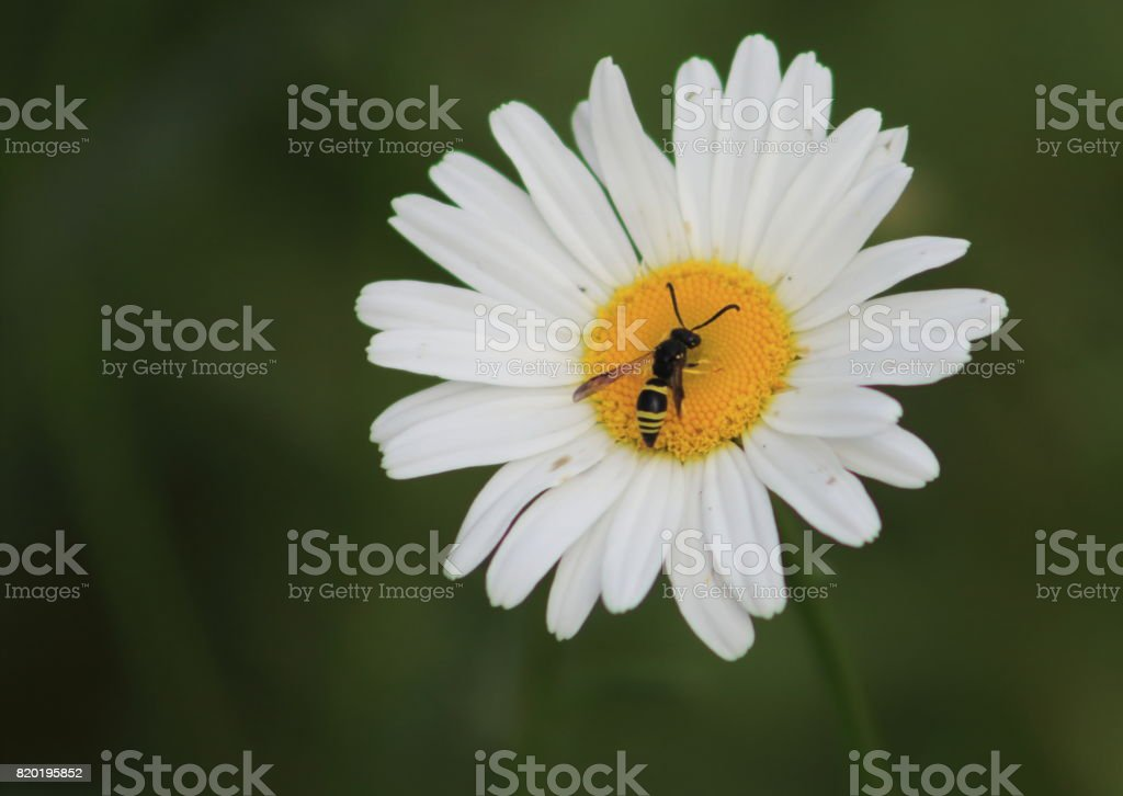 Daisy with Bee stock photo
