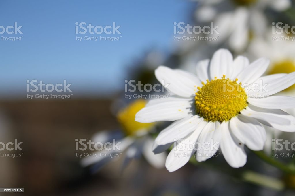 Daisy with blurred background stock photo