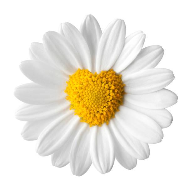 Daisy with disc flowers in heart shape picture id864066242?b=1&k=6&m=864066242&s=612x612&w=0&h=sqjnmrvq5aiylvaximum0zvsz znol1gwry bg7jwas=