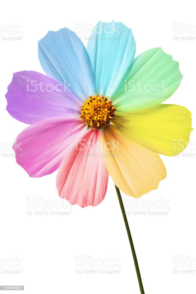 Daisy with rainbow petals on a white background  stock photo