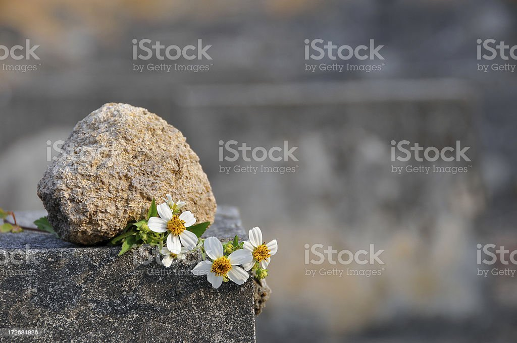 Daisy with Stone stock photo