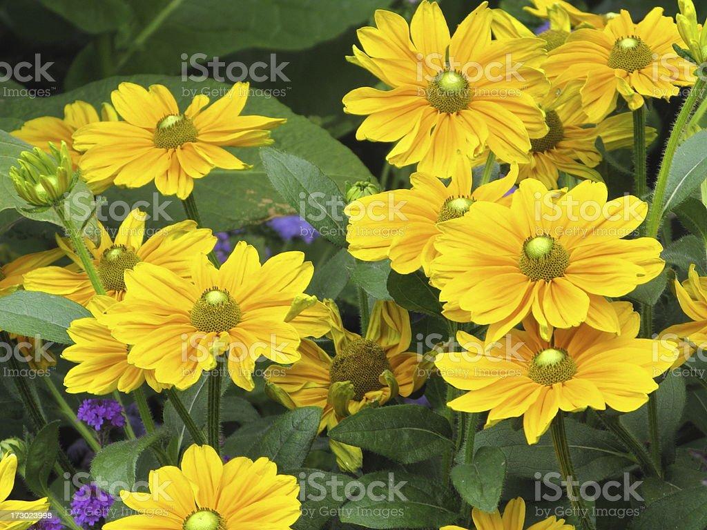 Daisy Yellow Close Up Bunch royalty-free stock photo