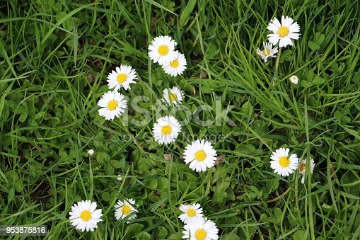 beautiful daisys in the grass in the garden