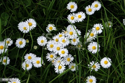 beautiful daisys in the garden