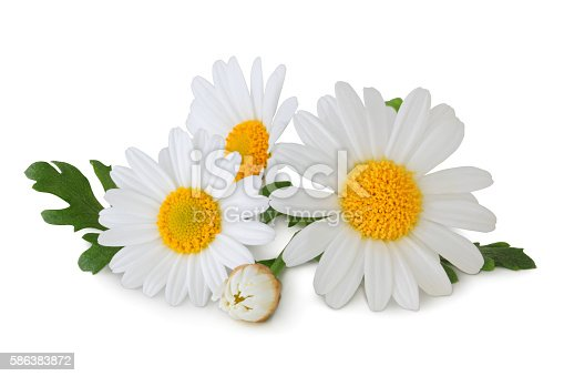 Daisys isolated on white background inclusive clipping path.