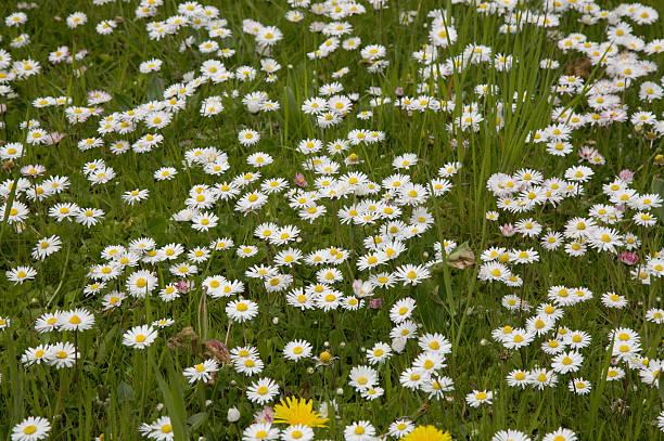 Daisys - Photo