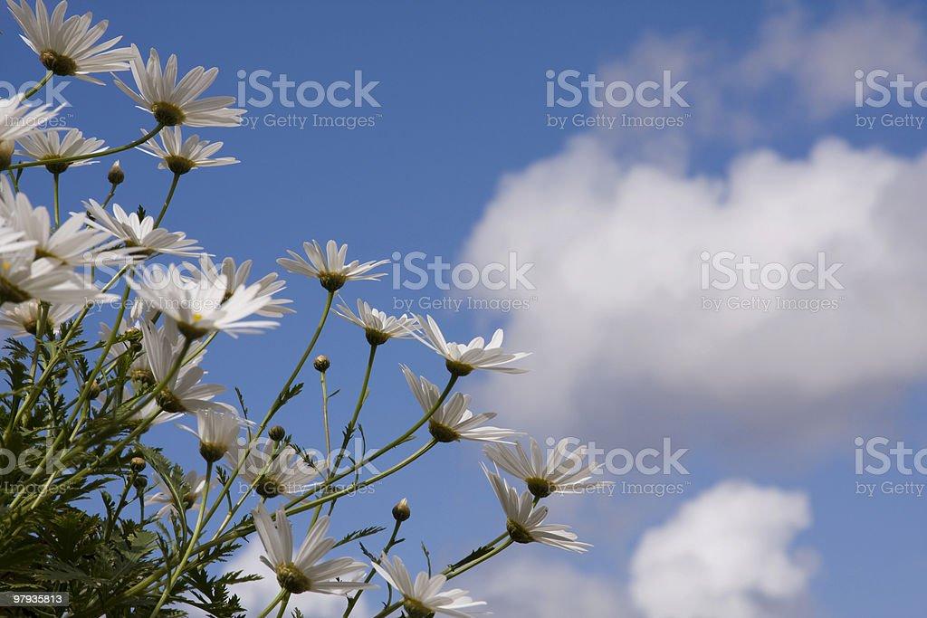 daisys royalty-free stock photo