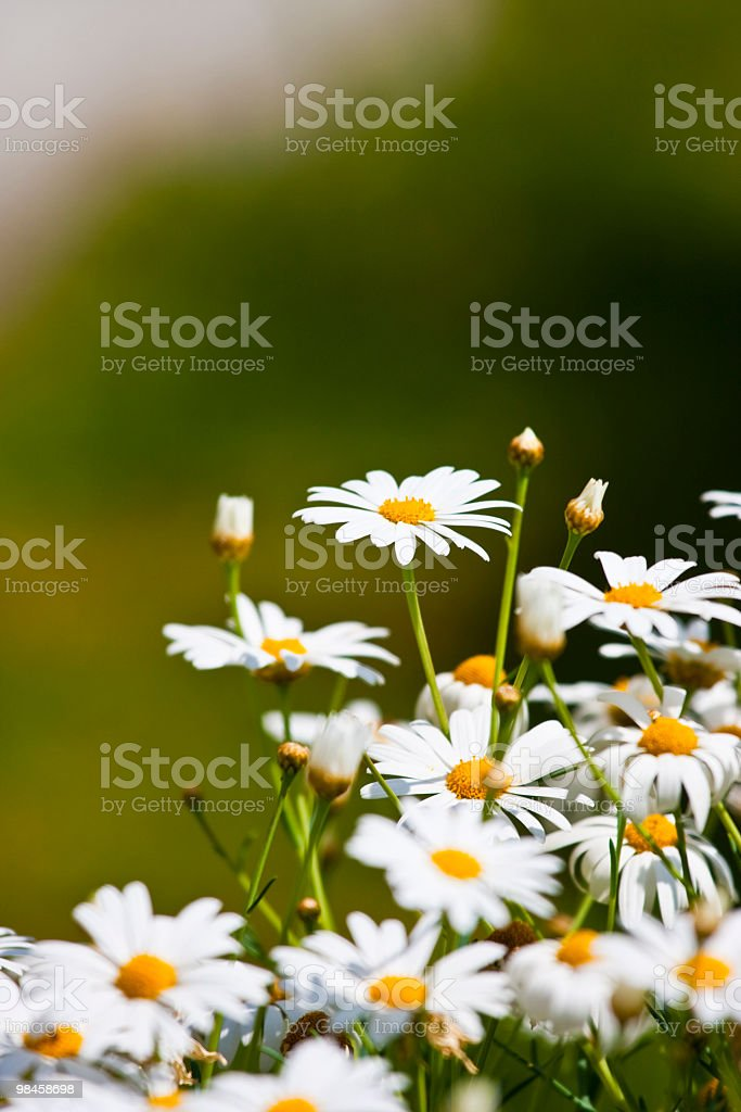 Daisy's royalty-free stock photo