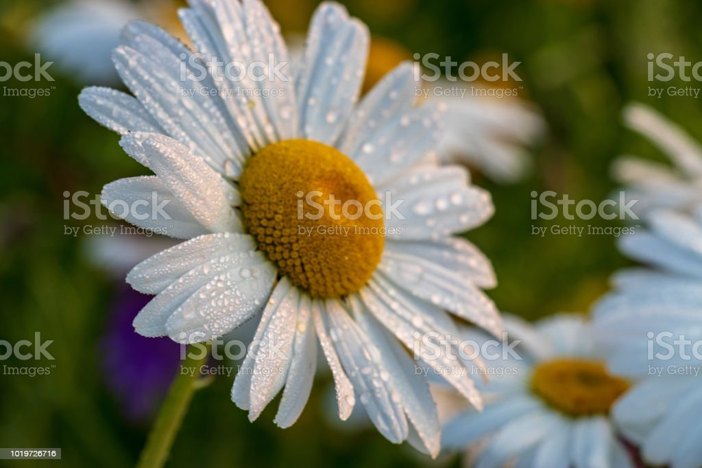 Daisy's with morning dew drops and a green background. stock photo