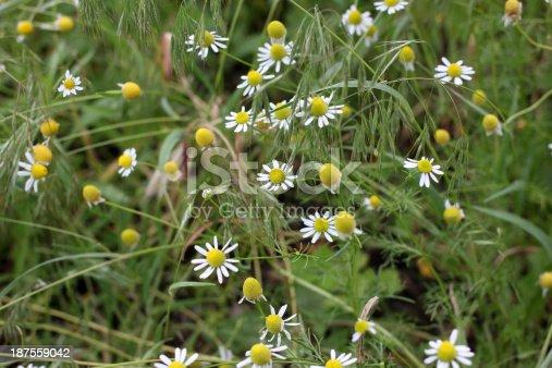 beautiful flower daisywheel on green field solar day