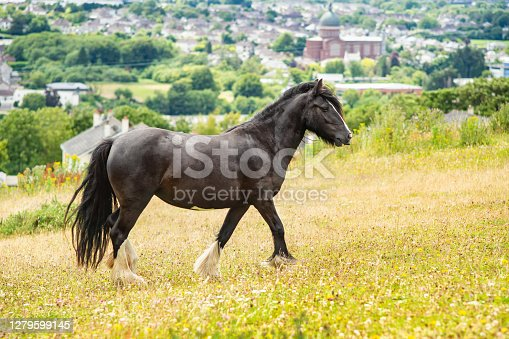 Dales pony on the hill in summer day.
