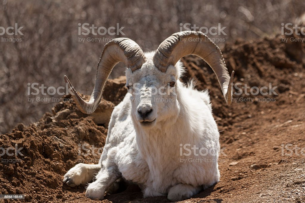 Dall ram laying in the road in Denali National Park. stock photo