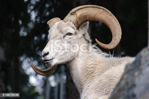 Dall Sheep Close Up Head with Horns