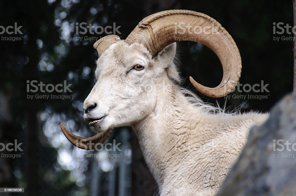 Dall Sheep Close Up Head with Horns stock photo