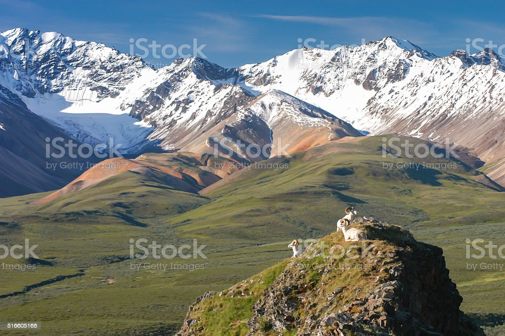Dall Sheep Looking at Snow Capped Mountains in Denali Alaska stock photo