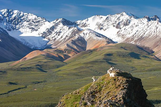 dall sheep looking at snow capped mountains in denali alaska - denali national park bildbanksfoton och bilder