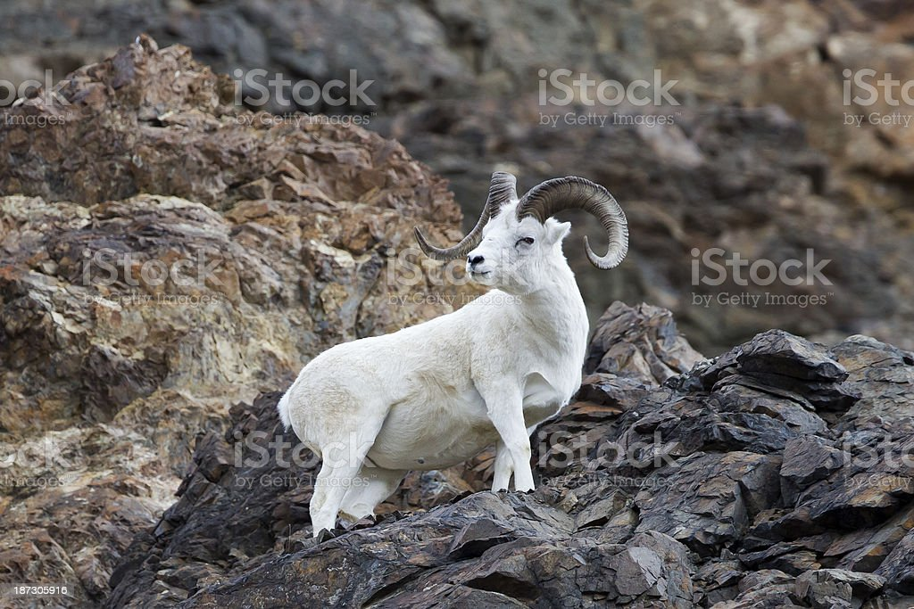 Dall sheep perches on cliffside in Alaska's Denali National Park stock photo