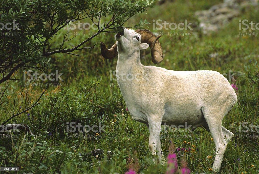 Dall Sheep Ram Eating royalty-free stock photo