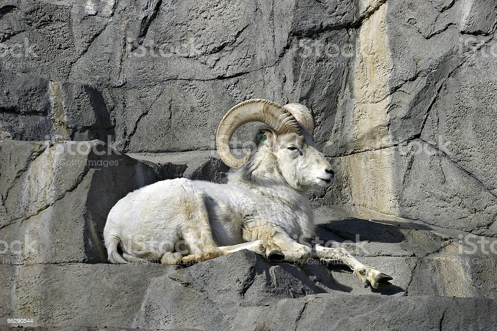Dall Sheep (Ovis Dalli) Ram Relaxing on Rocks stock photo