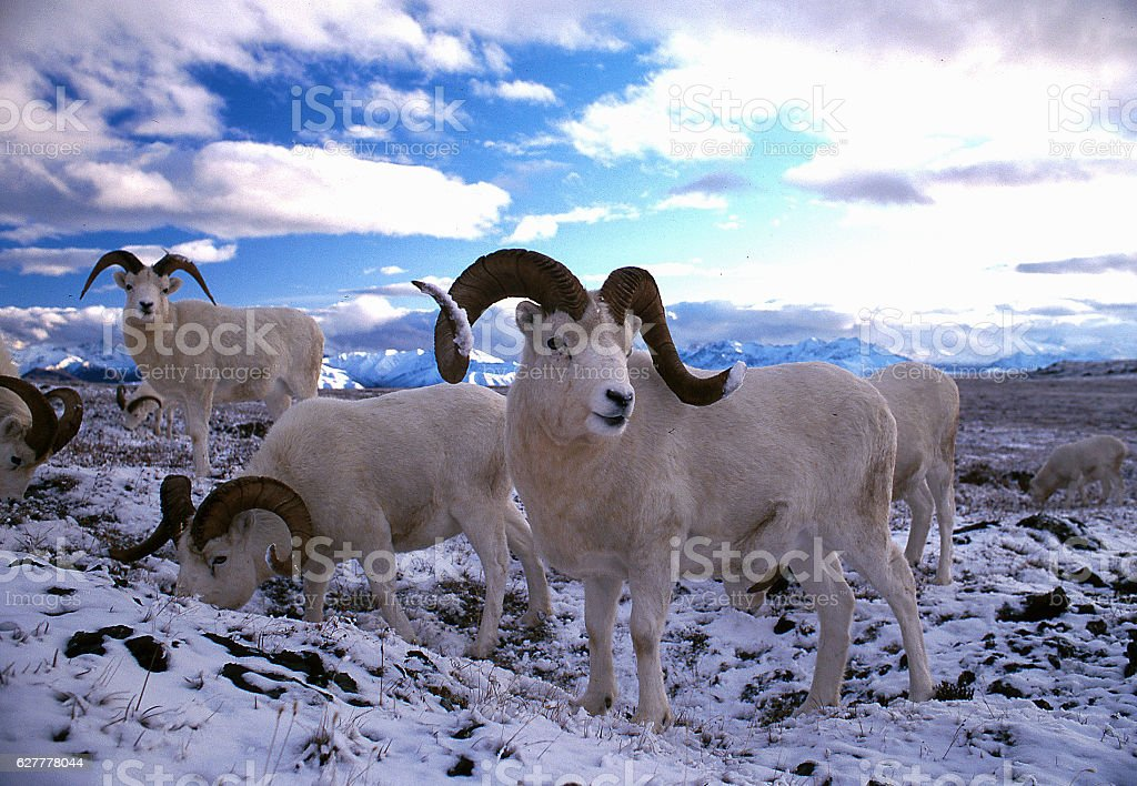 Dall sheep rams in snow stock photo