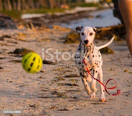 dalmata dog on the beach