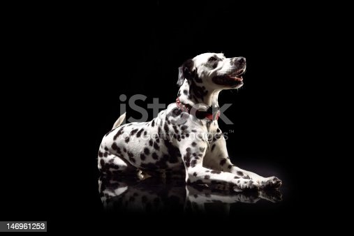 Dalmatian lying down in front of black background, studio shot.